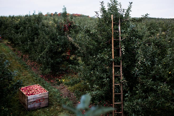 Red Delicious apples are picked at AB Orchards LLC in Sparta, Mich. on Oct. 6, 2017.