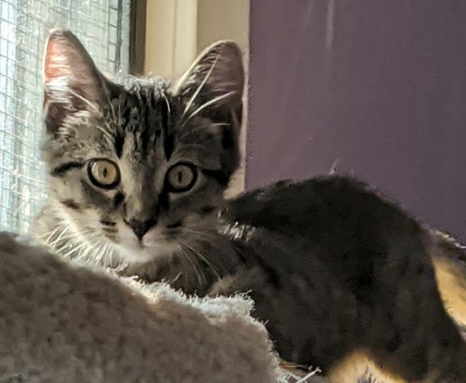 Robin is one of the kittens waiting for a new home at the Humane Society of Ottawa County.
