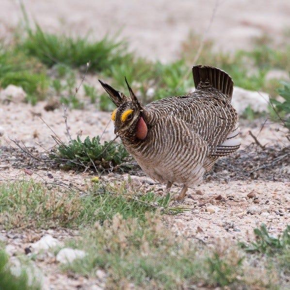 A lesser prairie chicken is pictured.
