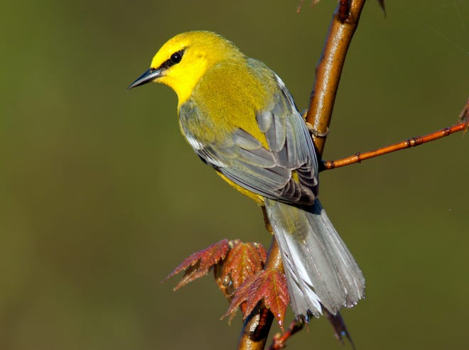 A Blue-winged Warbler sits on a branch. The proposed Southern Lake Huron Coastal Park would be home to a variety of migratory birds living along the shores of Lake Huron.
