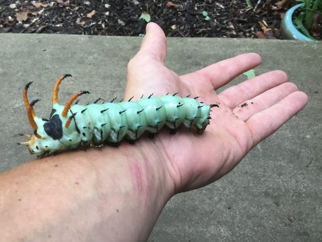 Stuart Brisco was surprised to discover this hickory horned devil caterpillar living in his back yard.