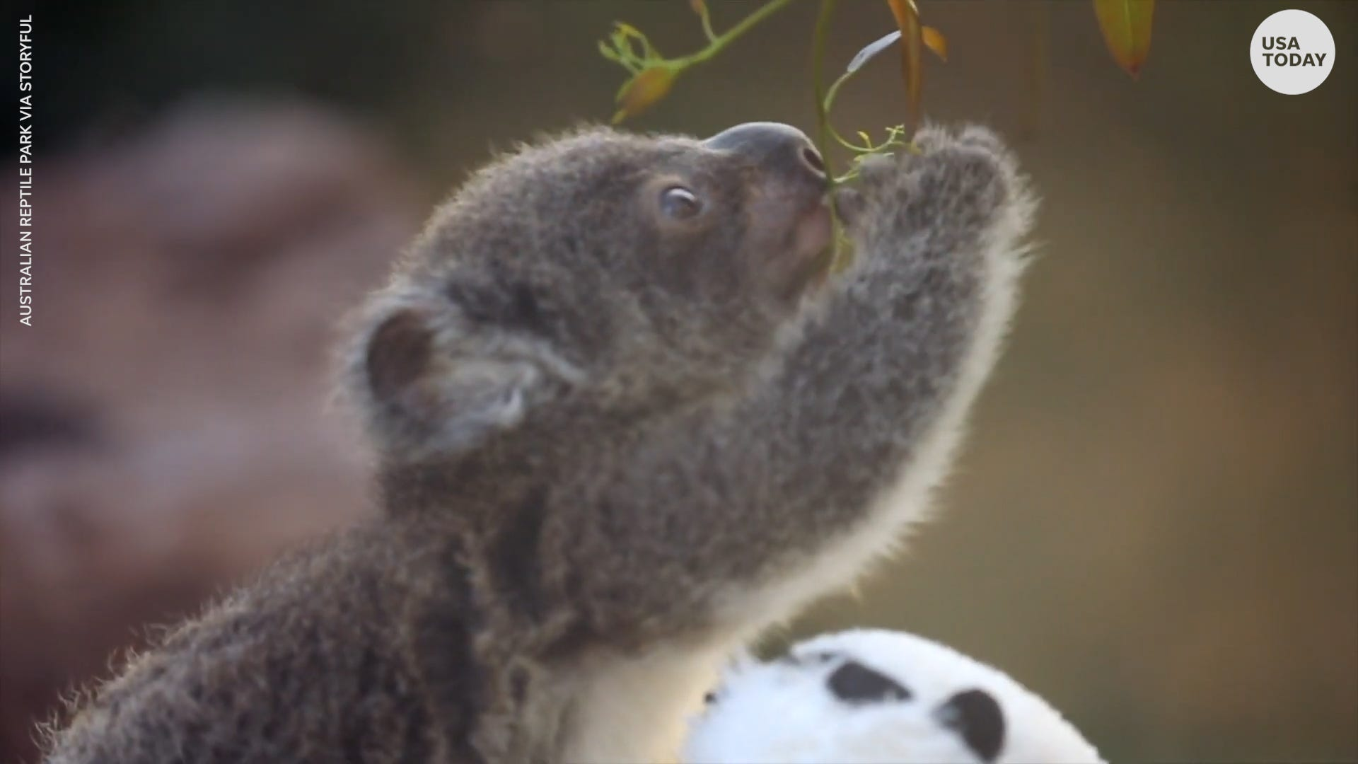 Wildlife sanctuary celebrates successful koala breeding season after devastating bushfires