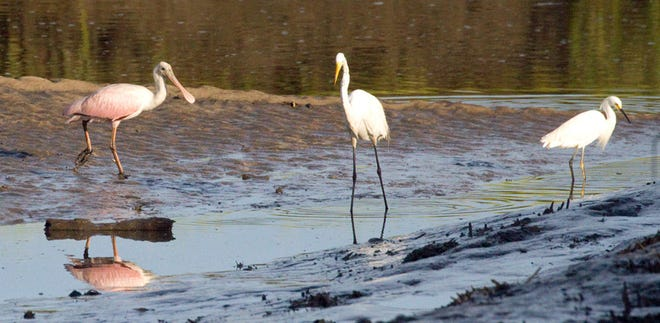 Roseate spoonbill feeds with a great egret and a snowy egret.