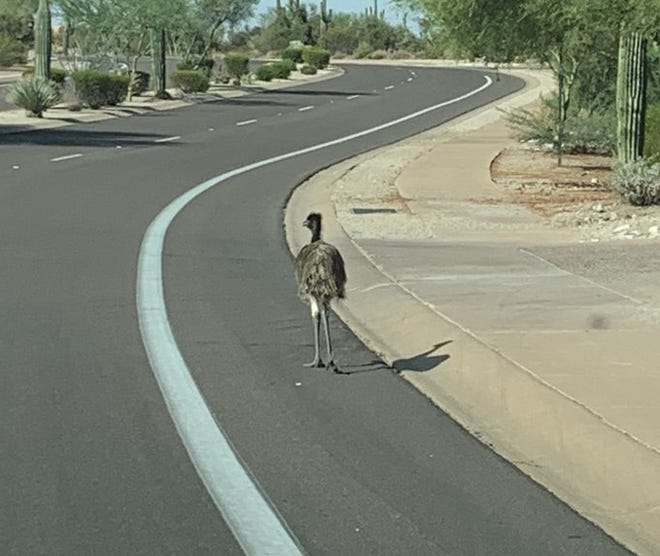 An emu was found wandering the streets in Scottsdale on Aug. 4, 2020.