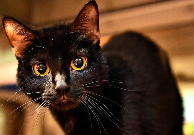Kikyo, a 1 year old female, is available for adoption at the York County SPCA in Manchester Township, Tuesday, Aug. 4, 2020. Dawn J. Sagert photo