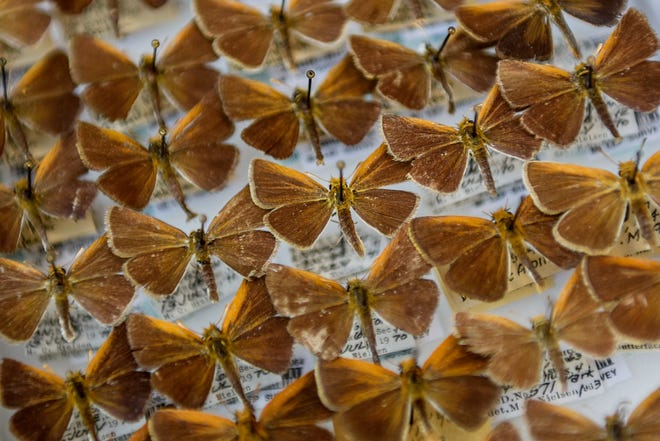 Oarisma Poweshiek butterflies in the natural science collection photographed on Wednesday, Aug. 5, 2020, on the Michigan State University campus in East Lansing.
