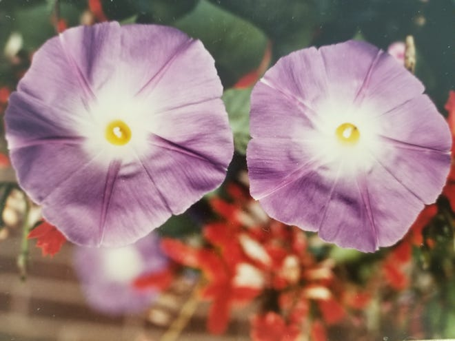 """The name """"Heavenly Blue"""" morning glory says it all! Provide a vertical trellis of at least six to eight feet for one or two plants and have a mass of blue cool color during the summer."""