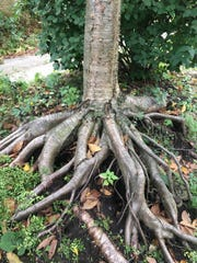 This tree is among Gillian Ulrich's favorites because of the root system.