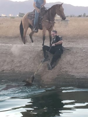A Goodyear police officer pulled a runaway calf from a canal near Loop 303 and Van Buren Street on Aug. 4, 2020.