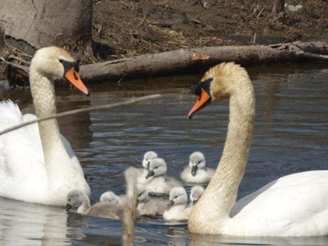Mute swans and cygnets, or young swans, swim in Pleasant Valley.
