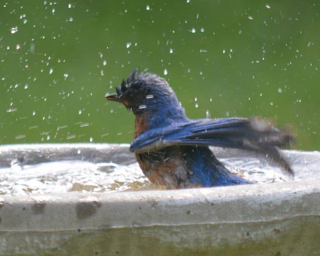 A blue bird cools off in a Hyde Park birdbath.