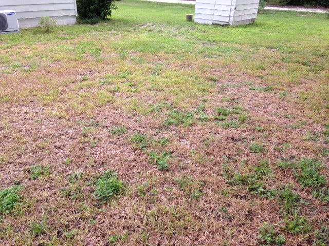 Lawn turning brown with chinch bug damage.