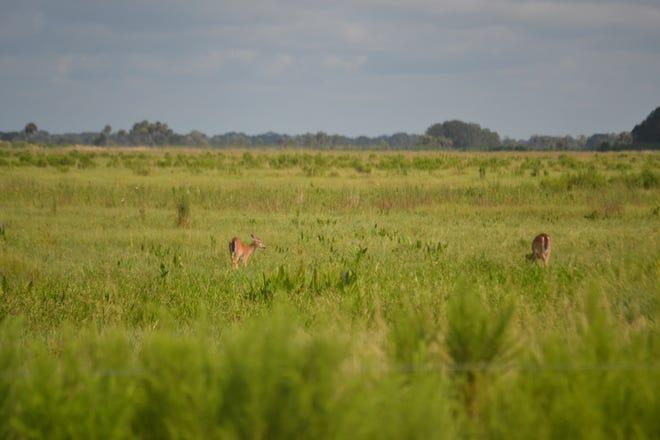 The prime breeding season for South Florida deer runs through August.