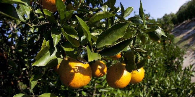 The Florida citrus industry saw acreage decline 3% in 2019-20, continuing a 22-year decline. The crop value plummeted 19% to $726.7 million. FILE PHOTO/THE LEDGER 2018
