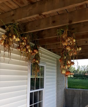 Onions drying at Lovina Eicher's home.