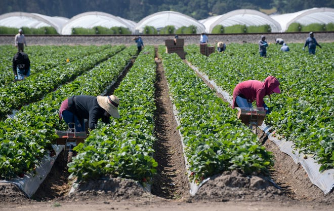 Farmworkers around the Watsonville community pick strawberries as the Watsonville Campesino Appreciation Caravan passes through on Tuesday, May 5, 2020.
