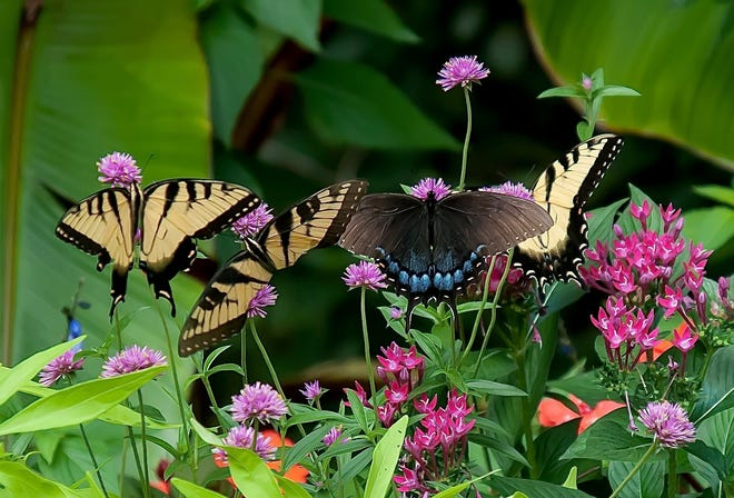 Truffula Pink gomphrena hosts a garden party of swallowtails at The Garden Guy's house.