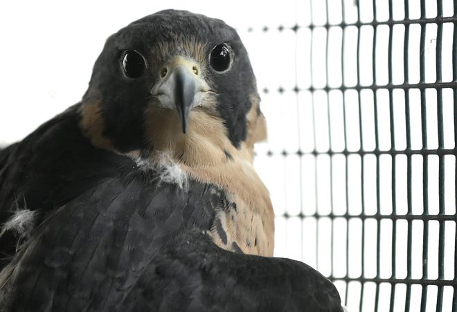 "The book ""The Future File"" in 1977 correctly predicted there would be efforts to breed endangered species to be released into the wild. Such has happened with peregrine falcons. [THOMAS BENDER/SARASOTA HERALD-TRIBUNE]"