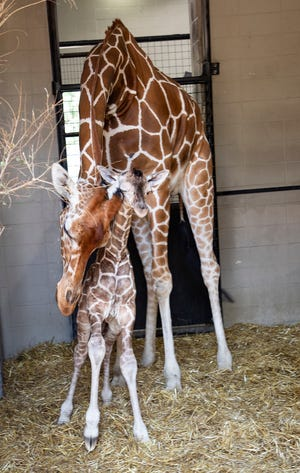 A baby reticulated giraffe was born this past week at the Lee Richardson Zoo in Garden City. Mother and baby are doing fine.