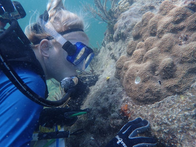 Mote Marine Laboratory's Dr. Hanna Koch observes outplanted mountainous star coral at a reef in the Florida Keys.