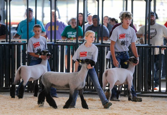 Exhibitors showcase their sheep during the Iowa 4-H and FFA livestock show on Friday, Aug. 7, 2020, at the Iowa State Fairgrounds.