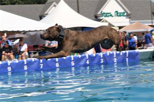 Sailing through the air like a champ, this dog made waves last year at Dog Daze in Farragut's Village Green. (2019)