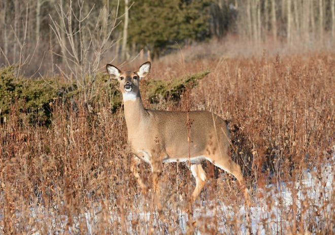 An antlerless white-tailed deer moves cautiously through a Wisconsin field.