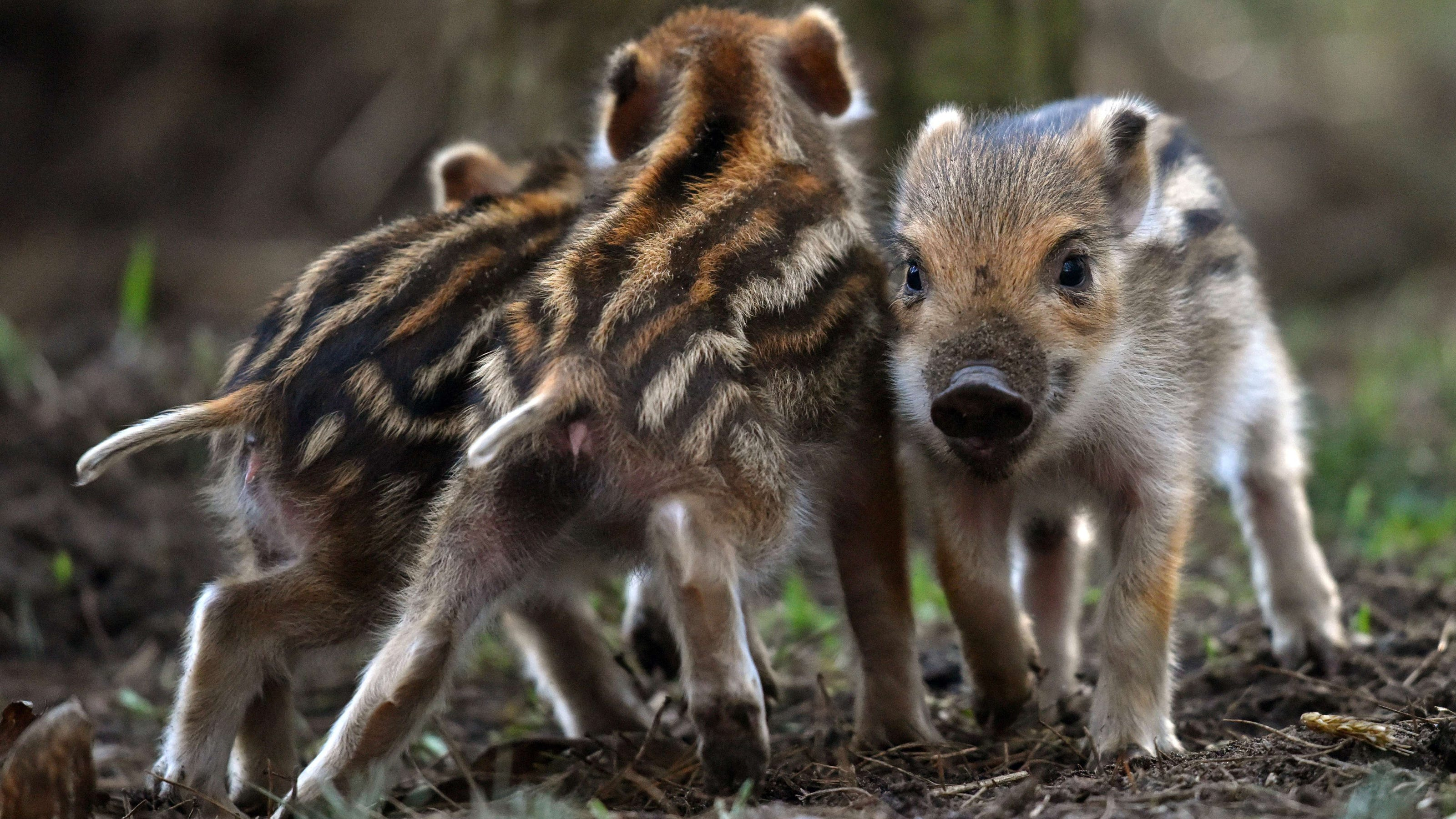 How to Scare Off a Feral Hog Whether Youre Naked or Not