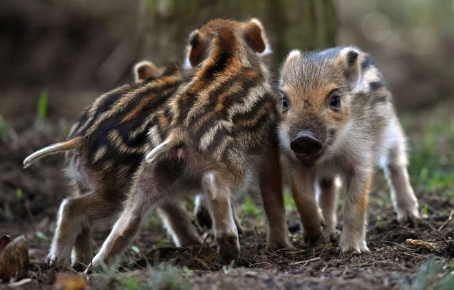 Boar piglets play at the Erlebnisbauernhof adventure farm in Klaistow, eastern Germany. Boars are very common in Germany and can sometimes be seen in parks.