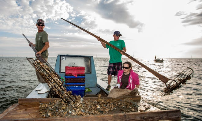 In this April 2, 2015, file photo, Gene Dasher, left, and Frankie Crosby, center, use wire baskets on the end of 14-foot handles to tong oysters while Misty Crosby separates clumps of oysters at Apalachicola Bay, near Eastpoint. The Florida Fish and Wildlife Conservation will shut down wild oyster harvesting for as long as five years. The Commissioners hope that the pause and $20 million in restoration and monitoring, will restore a portion of the oyster fishery.