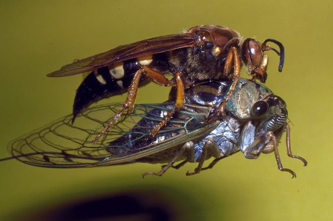 Cicada killer wasp, found commonly across New Mexico, carrying a paralyzed cicada back to its nest.