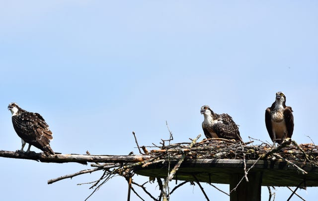 See Beautiful Vermont Osprey A Bird Of Prey That Almost Disappeared