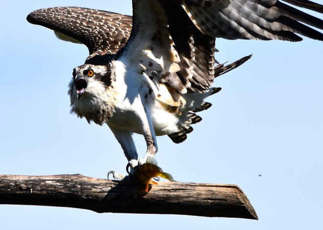 A young osprey lands one of its first-ever fish meals at Lake Arrowhead in Milton on Aug. 6, 2020.