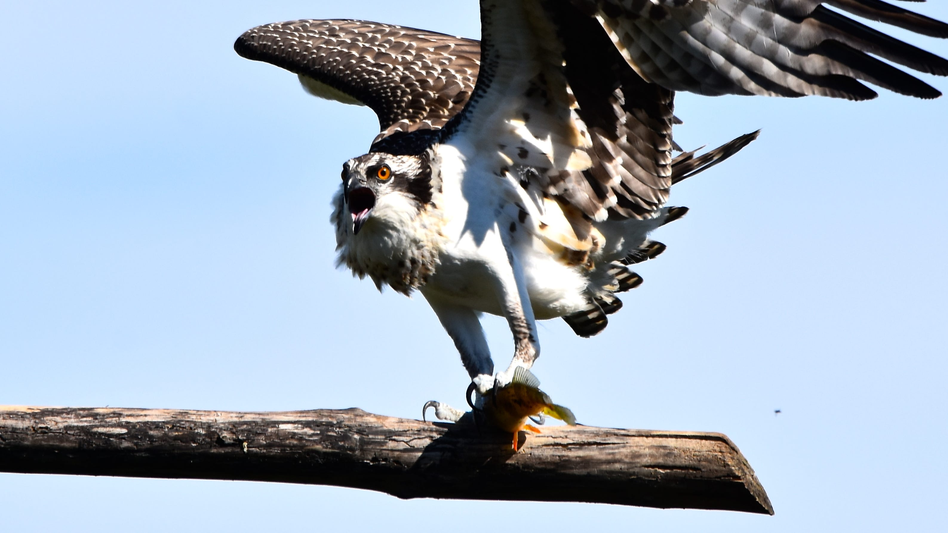 Rebound Of Ospreys In Vermont Continues After Decades Of Decline