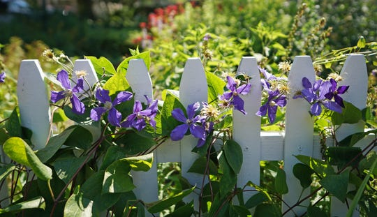 Clematis wrap around a picket fence in the garden at the home of Gillian Ulrich in Whitefish Bay.