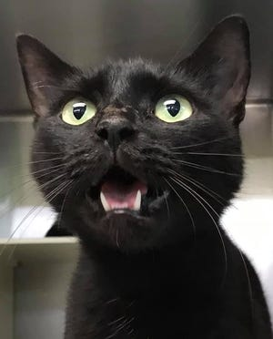 Yzma says come on over to the South Jersey Regional Animal Shelter and adopt her! The shelter is offering a promotion through Aug. 15. Cats, age 6-months and older, may be adopted for a reduced fee of $25.