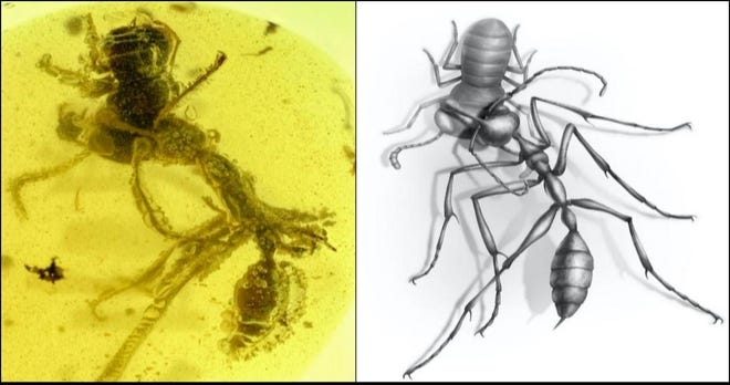 A fossil of a hell ant consuming its prey (left), and an artist's conception of the encounter (right).