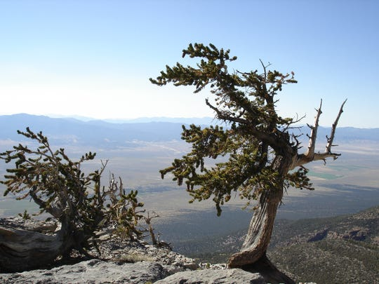 Trees as old as 3,000 years old are  easily found on a three-mile roundtrip hike on the Wheeler Peak Trail in Nevada's Great Basin National Park.