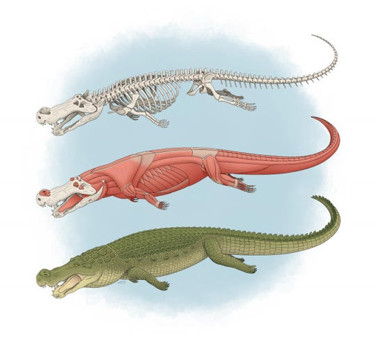 The skeleton, muscles and appearance of Deinosuchus, a prehistoric crocodile up to 33 feet long.