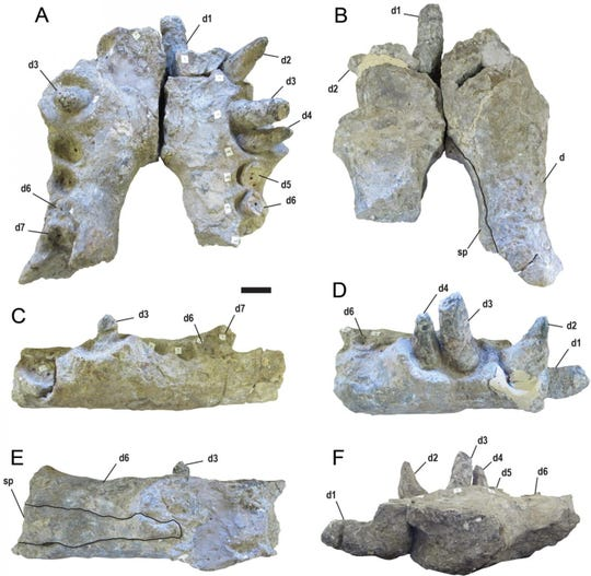 Fossils of the jawbone and teeth of the terrifying 'terror crocodile'.