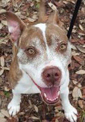 Stella, an adult female American Bulldog, is available for adoption from SAFE Pet Rescue of Northeast Florida. Call 904-325-0196. Vaccinations are up to date.