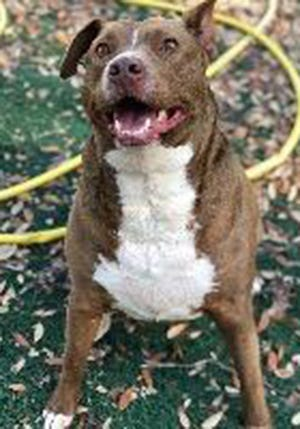 Tramp, an adult male Chocolate Labrador Retriever, is available for adoption from SAFE Pet Rescue of Northeast Florida. Call 904-325-0196. Vaccinations are up to date.