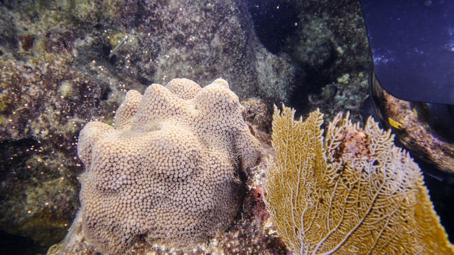 Mountainous star coral in Newfound Harbor near Cook Island in the Florida Keys, spawn on Monday, as documented by scientists from Mote Marine Laboratory's Elizabeth Moore International Center for Coral Reef Research and Restoration. The coral was grown in a land-based nursery and outplanted by Mote in 2015.