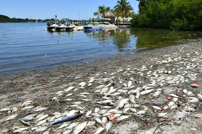 Dead fish are washed up along the shoreline at Bayfront Park in Sarasota on Aug. 21, 2018. A persistent red tide algal bloom in the Gulf of Mexico has been killing fish in the bay since mid-June.