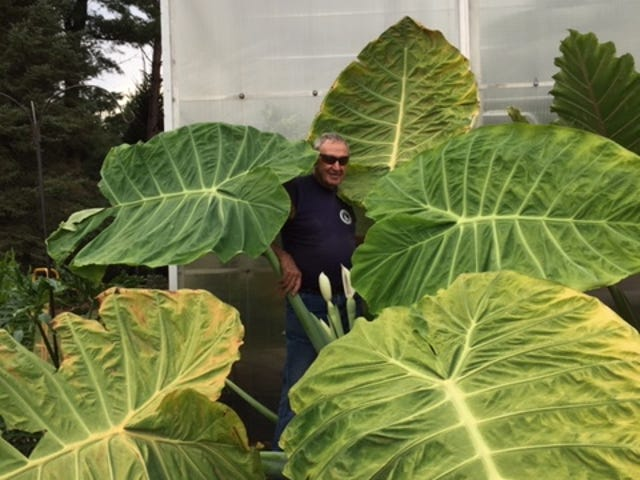 Jerry Harrer stands up to his ears, and then some, in the midst of his enormous elephant ears, or colocasia.