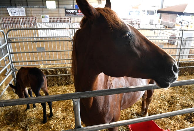 A mother horse and her foal are just waiting for visitors to arrive at The Wilson County Fair. The fair won't take place in its entirety this year because of COVID-19, but popular animal attractions will go on, including the Birthing Barn, photographed in Lebanon, Tenn. Wednesday, Aug. 12, 2020