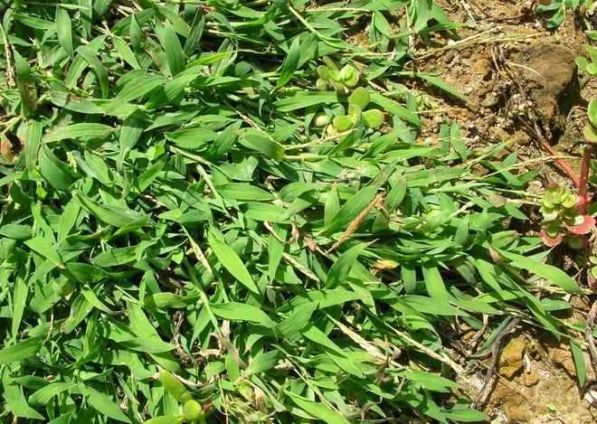 Southern crabgrass (Digitaria ciliaris).