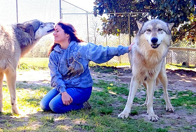 Brothers Apache and Mesa are happy to share attention here, but sometimes the wolves are possessive when it comes to getting scratches and will warn others away.