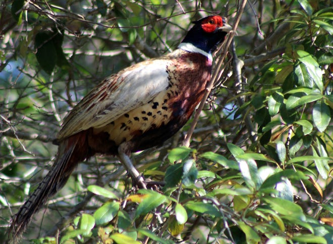 A ringed neck pheasant managed to find its way into a tree adjacent to Moultrie Creek in the Moultrie Trails subdivision. [Ed Albanesi/Contributed]