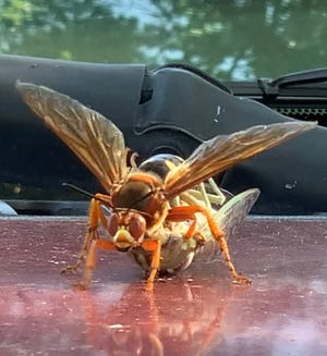 In this still image from a video taken at the NMSU Agricultural Science Center at Los Lunas, a cicada killer wasp starts to haul away a cicada it just poisoned.